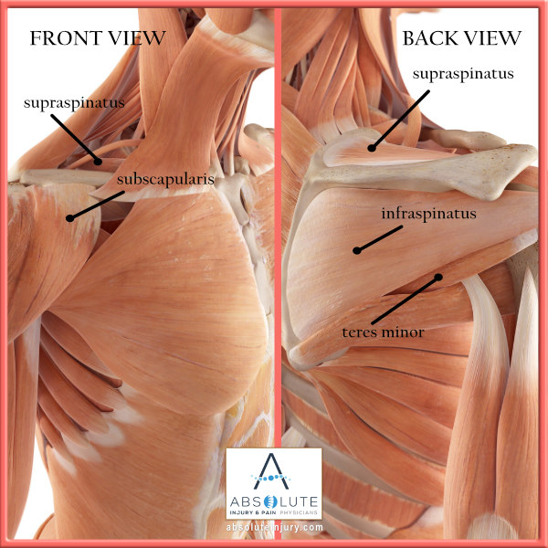 Shoulder Anatomy Muscles